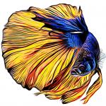 גידול דג קרב (סיאמי)
