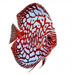 דג הדיסקוס