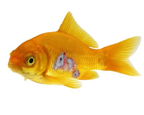 טבילת דג פצוע בתוך מי מלח (דיפ)