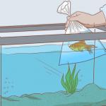 אקלום והכנסת דגי-נוי חדשים לאקווריום