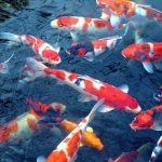 אקלום והכנסת דגים חדשים לבריכת נוי