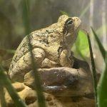 צפרדעים וקרפדות בבריכת דגים