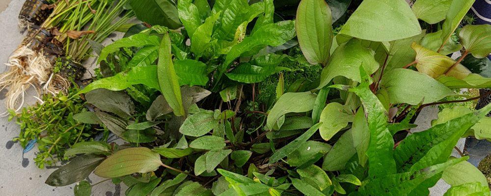 צמחייה לבריכת נוי